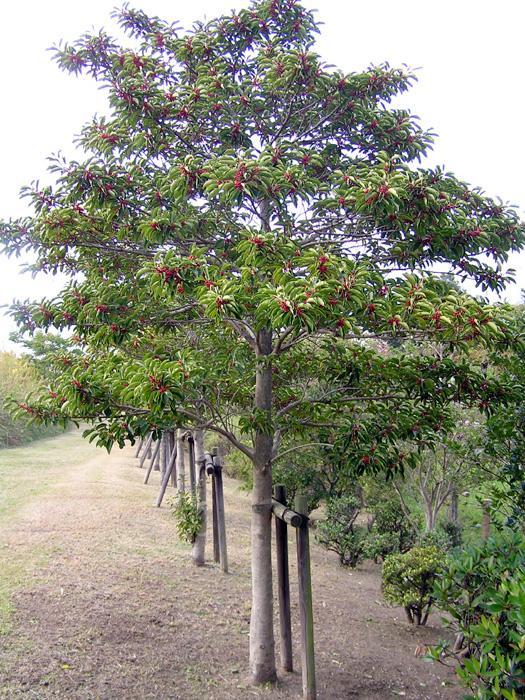 クロガネモチ樹形