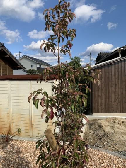 シンボルツリー:常緑ヤマボウシ(レッドムーン)