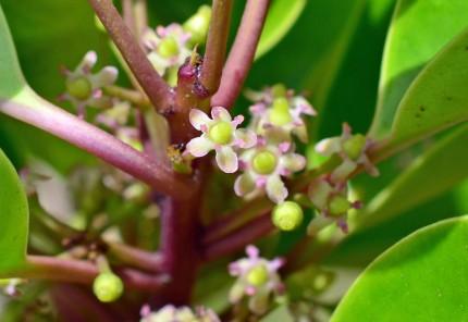クロガネモチ花