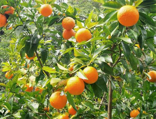 橙(果実)